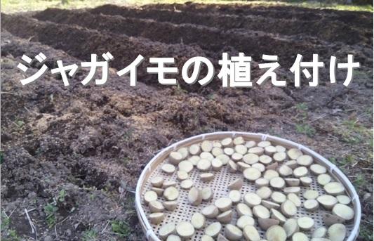 春です。じゃがいもの種芋を大急ぎで植え付けました。