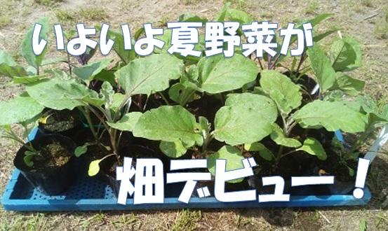 種から育てた夏野菜を畑に植え付けましたよ。