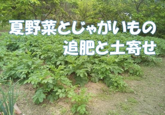 夏野菜とじゃがいもの追肥とオクラの植え付けをしました。