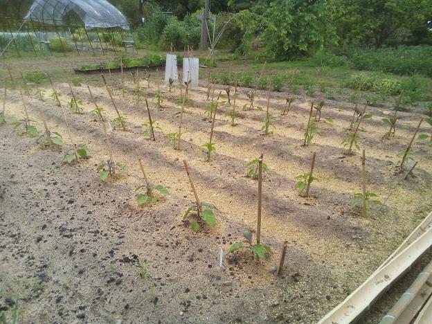 夏野菜の畑