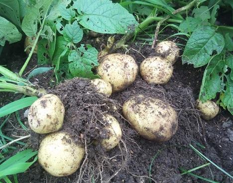 梅雨の合間になんとかジャガイモの収穫ができました。