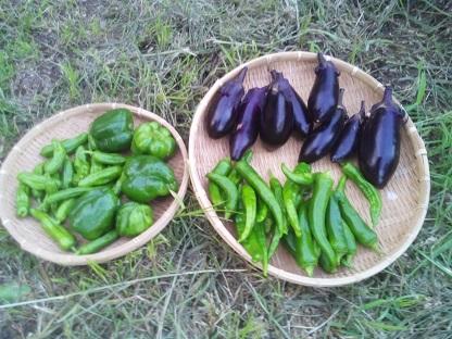夏野菜がドンドン収穫時期を迎えて嬉しい悲鳴