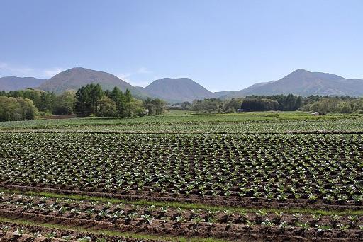 白菜やキャベツの種は、まだ暑い8月に蒔くって知ってましたか?