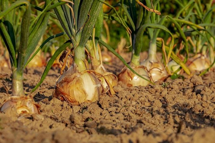 病気に侵された、玉ねぎを収穫しました・・・。