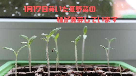 1月17日に蒔いた夏野菜の種が発芽しています
