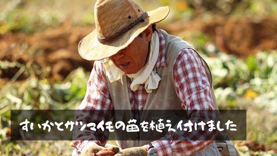 すいかとサツマイモの苗を植えつけました