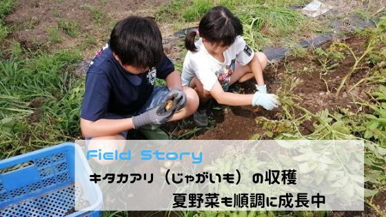Field story キタアカリ(じゃがいも)の収穫