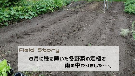 Field Story 8月に蒔いた冬野菜の定植を雨の中やりました