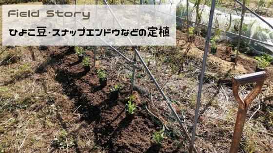Field Story ひよこ豆・スナップエンドウなどの定植
