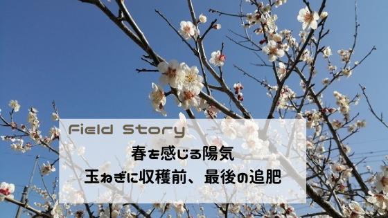 Field Story 春を感じる陽気。玉ねぎに収穫前、最後の追肥