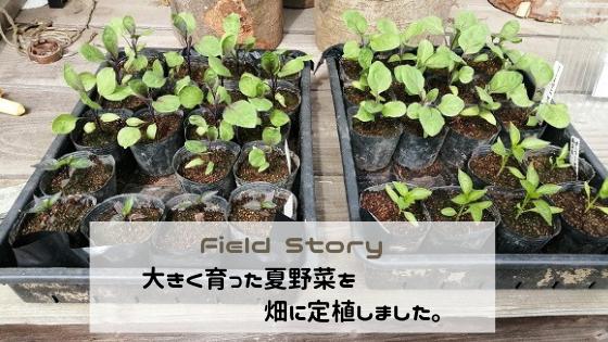 Field Story 大きく育った夏野菜を畑に定植しました