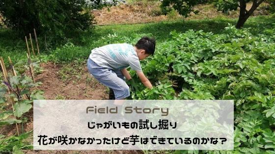 Field Story じゃがいもの試し掘り。花が咲かなかったけど芋はできているのかな?