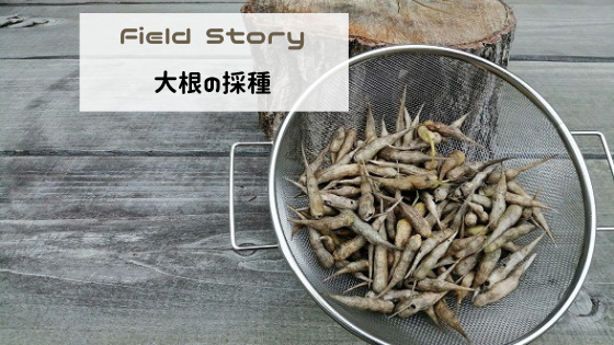 Field Story 大根の採種