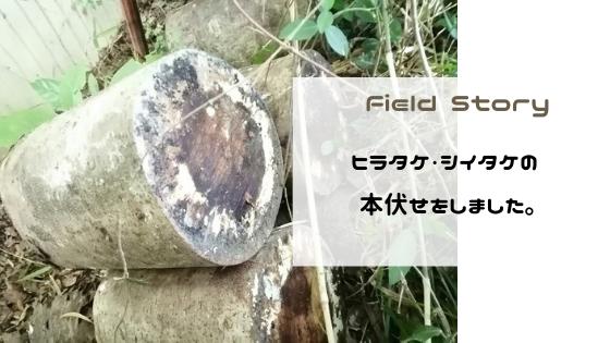 Field Story ヒラタケ・シイタケの本伏せをしました。
