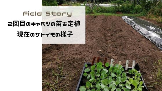 Field Story 2回目のキャベツの苗を定植、現在のサトイモの様子