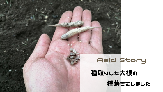 Field Story 種取りした大根の種蒔きをしました